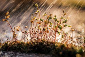 Virga Miklós: Mohák esőben